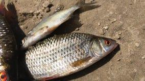 Το πιασμένο ψάρι ποταμών βρίσκεται στην αμμώδη ακτή και ανακατώνει τα βράγχια Σύλληψη roach και bream απόθεμα βίντεο