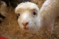 το πιό χαριτωμένοτο πάντα llama Στοκ Εικόνες