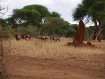 Το πιό wildebeest στενός-u αντιλοπών στο σαφάρι Tarangiri - Ngorongoro Στοκ Φωτογραφία
