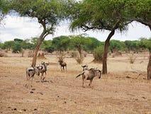 Το πιό wildebeest στενός-u αντιλοπών στο σαφάρι Tarangiri - Ngorongoro Στοκ Εικόνες