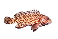 Το πλήρες σώμα πλάγιας όψης grouper των ψαριών απομόνωσε το άσπρο υπόβαθρο στοκ εικόνες με δικαίωμα ελεύθερης χρήσης