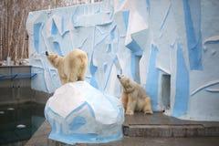 Το πολικό λευκό δύο αντέχει στο ζωολογικό κήπο στοκ εικόνα με δικαίωμα ελεύθερης χρήσης
