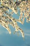 Το πολύβλαστο άνθισμα των κλάδων των φρούτων του δέντρου κερασιών κόκκινος τρύγος ύφους κρίνων απεικόνισης στοκ εικόνα