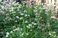 Το πολύχρωμο aquilegia λουλουδιών Στοκ φωτογραφίες με δικαίωμα ελεύθερης χρήσης
