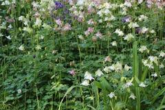 Το πολύχρωμο aquilegia λουλουδιών Στοκ Φωτογραφίες