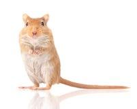 Το ποντίκι είναι  Στοκ Εικόνα