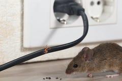 Το ποντίκι κινηματογραφήσεων σε πρώτο πλάνο κάθεται κοντά στο μασημένο καλώδιο σε μια κουζίνα διαμερισμάτων στοκ εικόνα με δικαίωμα ελεύθερης χρήσης
