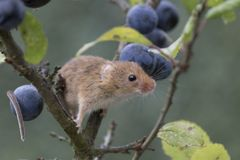Το ποντίκι συγκομιδών, ποντίκια κλείνει επάνω τη συνεδρίαση πορτρέτου στον κάρδο, καλαμπόκι, σίτος, brambles, sloe, μαργαρίτα, λο Στοκ Εικόνα