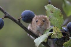 Το ποντίκι συγκομιδών, ποντίκια κλείνει επάνω τη συνεδρίαση πορτρέτου στον κάρδο, καλαμπόκι, σίτος, brambles, sloe, μαργαρίτα, λο στοκ εικόνες με δικαίωμα ελεύθερης χρήσης