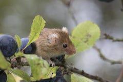 Το ποντίκι συγκομιδών, ποντίκια κλείνει επάνω τη συνεδρίαση πορτρέτου στον κάρδο, καλαμπόκι, σίτος, brambles, sloe, μαργαρίτα, λο Στοκ εικόνα με δικαίωμα ελεύθερης χρήσης