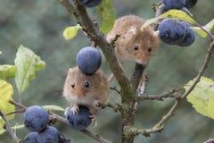 Το ποντίκι συγκομιδών, ποντίκια κλείνει επάνω τη συνεδρίαση πορτρέτου στον κάρδο, καλαμπόκι, σίτος, brambles, sloe, μαργαρίτα, λο στοκ φωτογραφίες με δικαίωμα ελεύθερης χρήσης