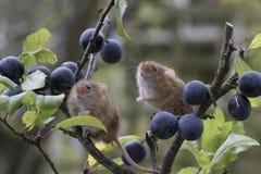 Το ποντίκι συγκομιδών, ποντίκια κλείνει επάνω τη συνεδρίαση πορτρέτου στον κάρδο, καλαμπόκι, σίτος, brambles, sloe, μαργαρίτα, λο Στοκ Φωτογραφίες