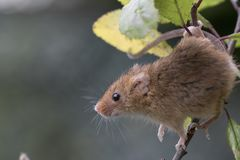 Το ποντίκι συγκομιδών, ποντίκια κλείνει επάνω τη συνεδρίαση πορτρέτου στον κάρδο, καλαμπόκι, σίτος, brambles, sloe, μαργαρίτα, λο Στοκ Φωτογραφία