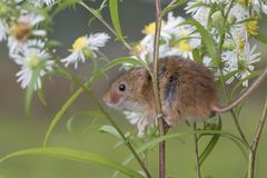 Το ποντίκι συγκομιδών, ποντίκια κλείνει επάνω τη συνεδρίαση πορτρέτου στον κάρδο, καλαμπόκι, σίτος, brambles, sloe, μαργαρίτα, λο Στοκ φωτογραφία με δικαίωμα ελεύθερης χρήσης