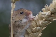 Το ποντίκι συγκομιδών, ποντίκια κλείνει επάνω τη συνεδρίαση πορτρέτου στον κάρδο, καλαμπόκι, σίτος, brambles, sloe, μαργαρίτα, λο Στοκ Εικόνες