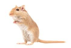 Το ποντίκι Στοκ εικόνες με δικαίωμα ελεύθερης χρήσης
