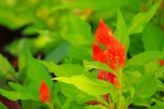 Το πορτοκάλι cockscomb το λουλούδι ή το argentea Celosia όμορφο στον κήπο Στοκ φωτογραφία με δικαίωμα ελεύθερης χρήσης