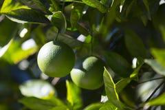 Το πορτοκαλί δέντρο με τα φρούτα ωριμάζει στοκ εικόνα