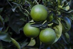 Το πορτοκαλί δέντρο με τα φρούτα ωριμάζει στοκ φωτογραφία με δικαίωμα ελεύθερης χρήσης