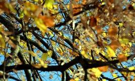 Το πορτοκαλί κίτρινο δέντρο, ξεραίνει τα φύλλα και το μπλε ουρανό, θολωμένο φυσικό υπόβαθρο φθινοπώρου οικολογίας στοκ εικόνες