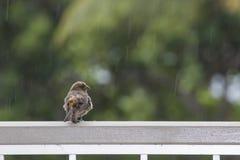 Το πορτοκαλί και καφετί Finch σπιτιών πουλί περιμένει τη βροχή να τελειώσει στη Raili στοκ φωτογραφία με δικαίωμα ελεύθερης χρήσης