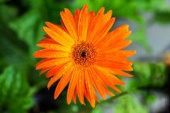 Το πορτοκαλί λουλούδι μαργαριτών gerbera είναι μουτζουρωμένο στο πράσινο υπόβαθρο Στοκ φωτογραφία με δικαίωμα ελεύθερης χρήσης