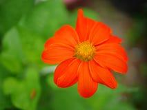 Το πορτοκαλί λουλούδι στοκ φωτογραφία με δικαίωμα ελεύθερης χρήσης