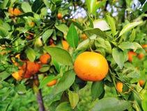 Το πορτοκαλής-δέντρο Στοκ Φωτογραφίες