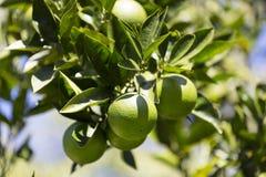 Το πορτοκαλί δέντρο με τα φρούτα ωριμάζει στοκ φωτογραφία