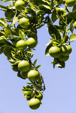 Το πορτοκαλί δέντρο με τα φρούτα ωριμάζει στοκ φωτογραφίες