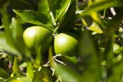 Το πορτοκαλί δέντρο με τα φρούτα ωριμάζει στοκ εικόνες