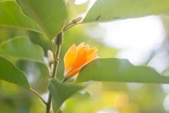 Το πορτοκαλί λουλούδι στον κλάδο Jum κατουρεί ή Jum Pla Στοκ Εικόνες