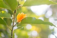 Το πορτοκαλί λουλούδι στον κλάδο Jum κατουρεί ή Jum Pla Στοκ Φωτογραφία