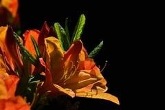 Το πορτοκαλί Rhododendron λουλούδι με πολύ στο μαύρο υπόβαθρο, τις ορατές πτώσεις του νερού και τα νέα φύλλα Στοκ εικόνες με δικαίωμα ελεύθερης χρήσης