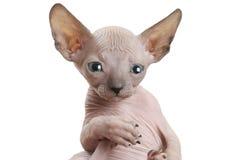 Το πορτρέτο άτριχου φορά το γατάκι Sphinx στοκ φωτογραφίες με δικαίωμα ελεύθερης χρήσης