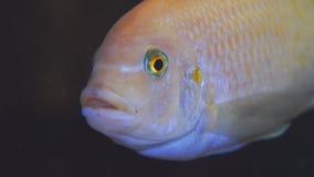 Το πορτρέτο ενός αφρικανικού ψαριού ενυδρείων της οικογένειας cichlid κάλεσε το lombardoi Pseudotropheus απόθεμα βίντεο