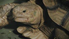 Το πορτρέτο ενός γίγαντα κοντά επάνω απόθεμα βίντεο