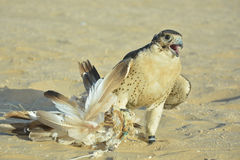 Το πορτρέτο ενός εξημερωμένου γερακιού ερήμων το δόλωμα στοκ φωτογραφία με δικαίωμα ελεύθερης χρήσης