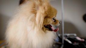 Το πορτρέτο ενός κοκκινομάλλους σκυλιού με τη γλώσσα του που κρεμά έξω, το ζώο είναι στον κομμωτή και κοιτάζει γύρω από γρήγορα απόθεμα βίντεο