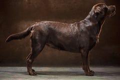 Το πορτρέτο ενός μαύρου σκυλιού του Λαμπραντόρ που λαμβάνεται ενάντια σε ένα σκοτεινό σκηνικό Στοκ εικόνα με δικαίωμα ελεύθερης χρήσης
