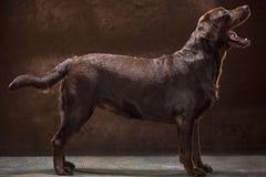 Το πορτρέτο ενός μαύρου σκυλιού του Λαμπραντόρ που λαμβάνεται ενάντια σε ένα σκοτεινό σκηνικό Στοκ Φωτογραφίες