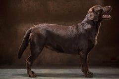 Το πορτρέτο ενός μαύρου σκυλιού του Λαμπραντόρ που λαμβάνεται ενάντια σε ένα σκοτεινό σκηνικό Στοκ Εικόνα