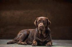 Το πορτρέτο ενός μαύρου σκυλιού του Λαμπραντόρ που λαμβάνεται ενάντια σε ένα σκοτεινό σκηνικό Στοκ Εικόνες