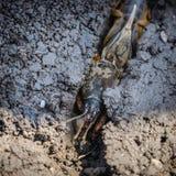 Το πορτρέτο ενός μεγάλου εντόμου που ζει στο έδαφος - gryllotalpa Στοκ Φωτογραφία