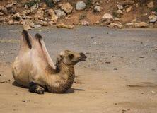Το πορτρέτο ενός μεγάλου κοκκίνου δύο-η καμήλα Στοκ φωτογραφία με δικαίωμα ελεύθερης χρήσης