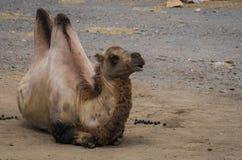 Το πορτρέτο ενός μεγάλου κοκκίνου δύο-η καμήλα Στοκ φωτογραφίες με δικαίωμα ελεύθερης χρήσης