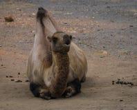Το πορτρέτο ενός μεγάλου κοκκίνου δύο-η καμήλα Στοκ εικόνες με δικαίωμα ελεύθερης χρήσης