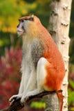 Το πορτρέτο ενός πιθήκου κάθεται, στηρίζεται και θέτει στον κλάδο του δέντρου στον κήπο Ο πίθηκος Patas είναι τύπος αρχιεπισκόπων στοκ εικόνα