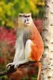 Το πορτρέτο ενός πιθήκου κάθεται, στηρίζεται και θέτει στον κλάδο του δέντρου στον κήπο Ο πίθηκος Patas είναι τύπος αρχιεπισκόπων στοκ εικόνες