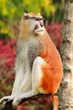 Το πορτρέτο ενός πιθήκου κάθεται, στηρίζεται και θέτει στον κλάδο του δέντρου στον κήπο Ο πίθηκος Patas είναι τύπος αρχιεπισκόπων στοκ εικόνες με δικαίωμα ελεύθερης χρήσης